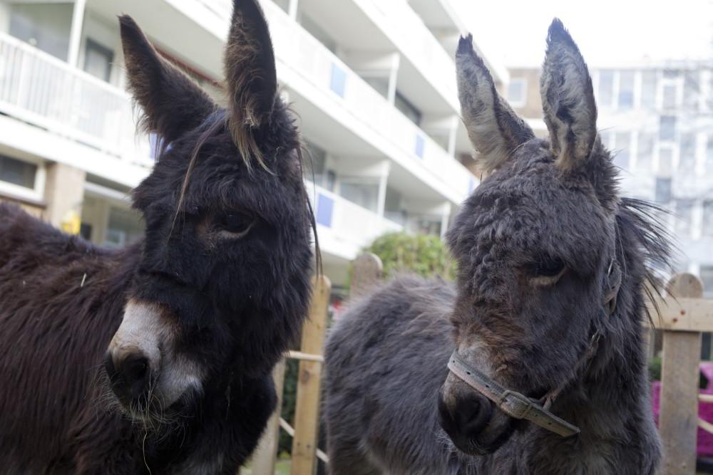 Pennemes kerststal twee ezels
